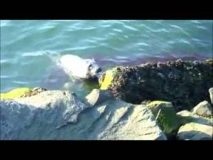 Baby Seal at Barnegat Light on Long Beach Island