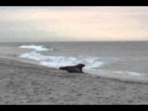 A sea lion on Brant Beach Long Beach Island New Jersey-Part-I