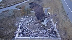 Barnegat Light Osprey Cam – Two Female Ospreys Land on Nest #LBI