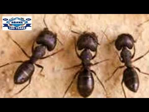 Read more about the article Black Ants In LBI Long Beach Island NJ 609-494-8688 Ozane.com
