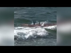Frenzied sharks attack dolphin at the Jersey Shore