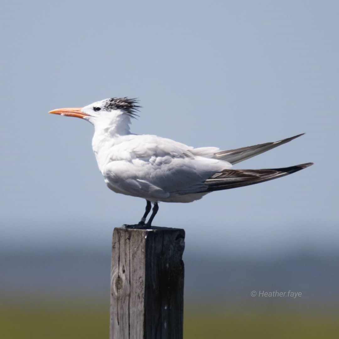 LBI Royal tern showing off a sweet monk 'do. Wish I had hair that good!             …