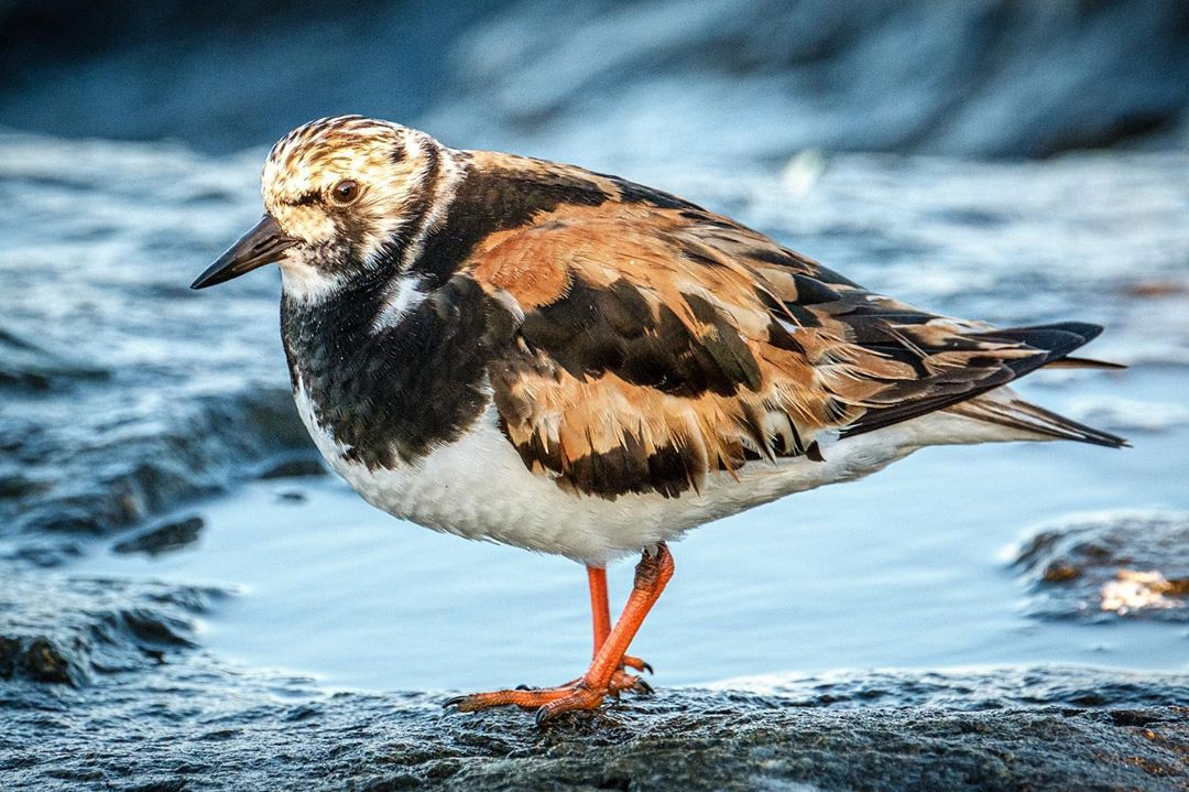 LBI These ruddy turnstones scampered in and out of the rocks of the jetty, fetching …