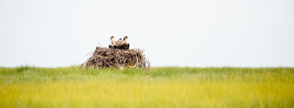Natural Osprey Nests Gain Ground as Species Adapts to Coastal Development, Rising Waters