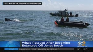 Whale Rescued After Becoming Entangled Off Jones Beach