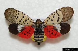 Invasive Spotted Lanternfly Found in Ocean County