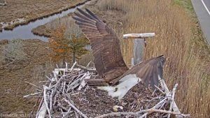 Barnegat Light Osprey Cam – March 31, 2020 – Banded Osprey Makes an Appearance! #LBI