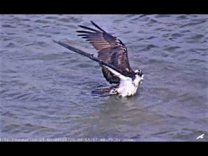 Barnegat Light female takes a bath and dries off 2020 08 08 09 28 54 938 #LBI