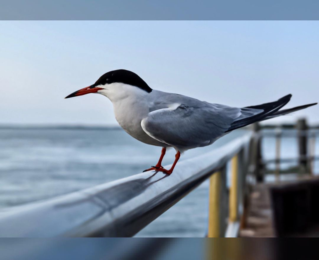 LBI Tern, spotted catching the sunset from Barnegat Inlet …