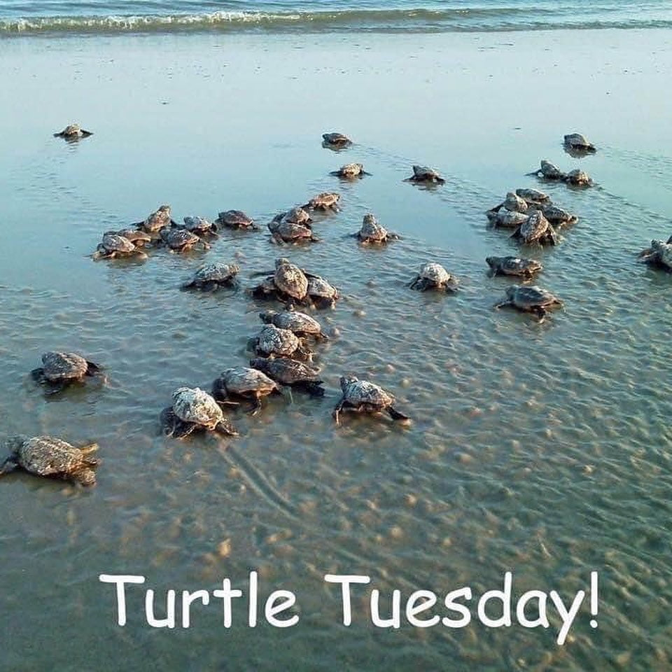 LBI What better way to take on Turtle Tuesday than to wear your Belle Etoile Sea Tur…