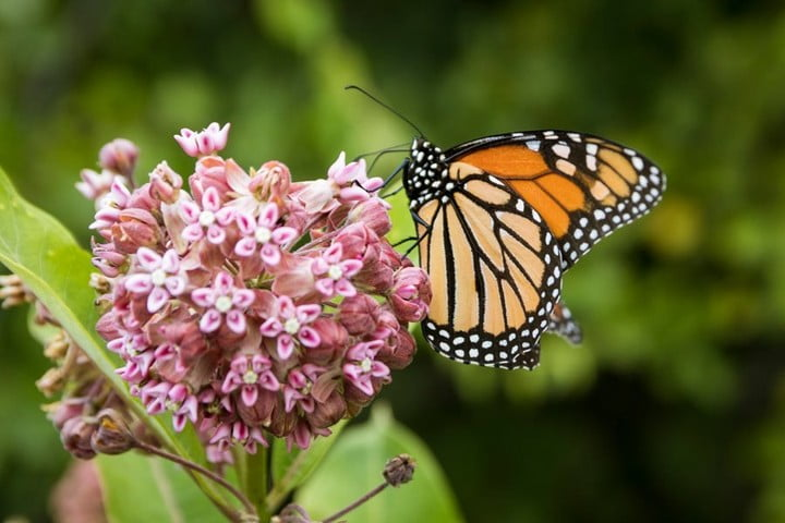 LBI Why Milkweed for Monarchs?   Monarch caterpillars ONLY eat milkweed. In fact, th…
