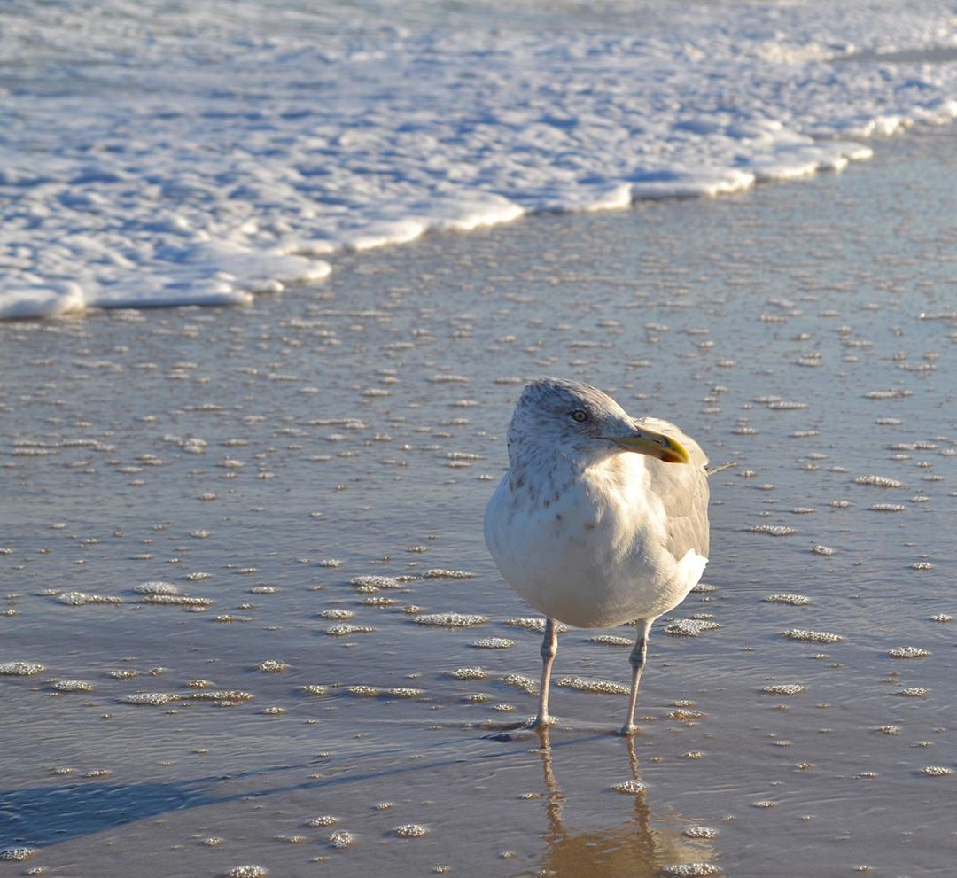 LBI An American herring gull searches for food on the shores of Long Beach Island.  …
