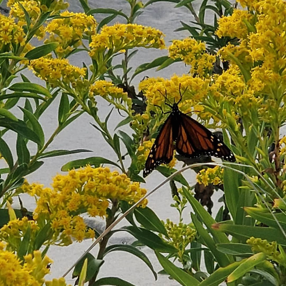 LBI The Monarchs have taken over the island and I love it!  They are everywhere!    …