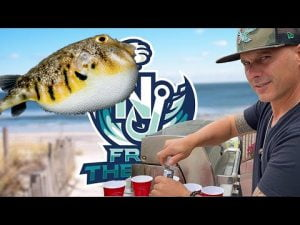 Northern Puffer CATCH and COOK, Barnegat Light – New Jersey #LBI
