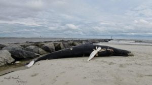 Dead Humpback Whale Lodges Near Jetty