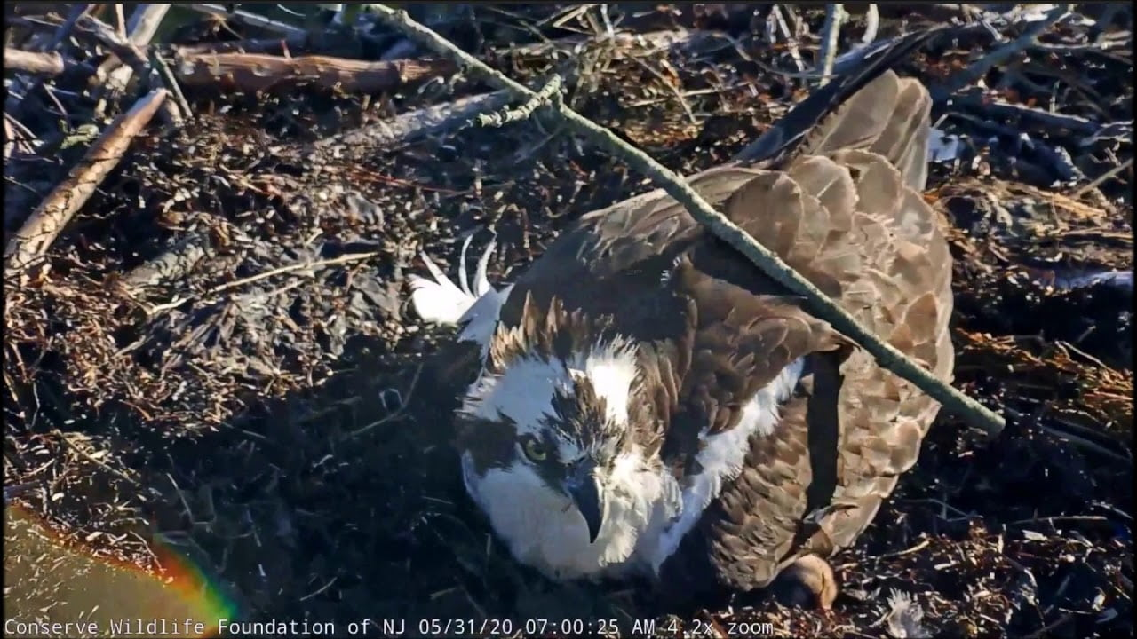 Barnegat Light Osprey Cam ~ Special Dad!  Broods His Young, May 31, 2020 #LBI