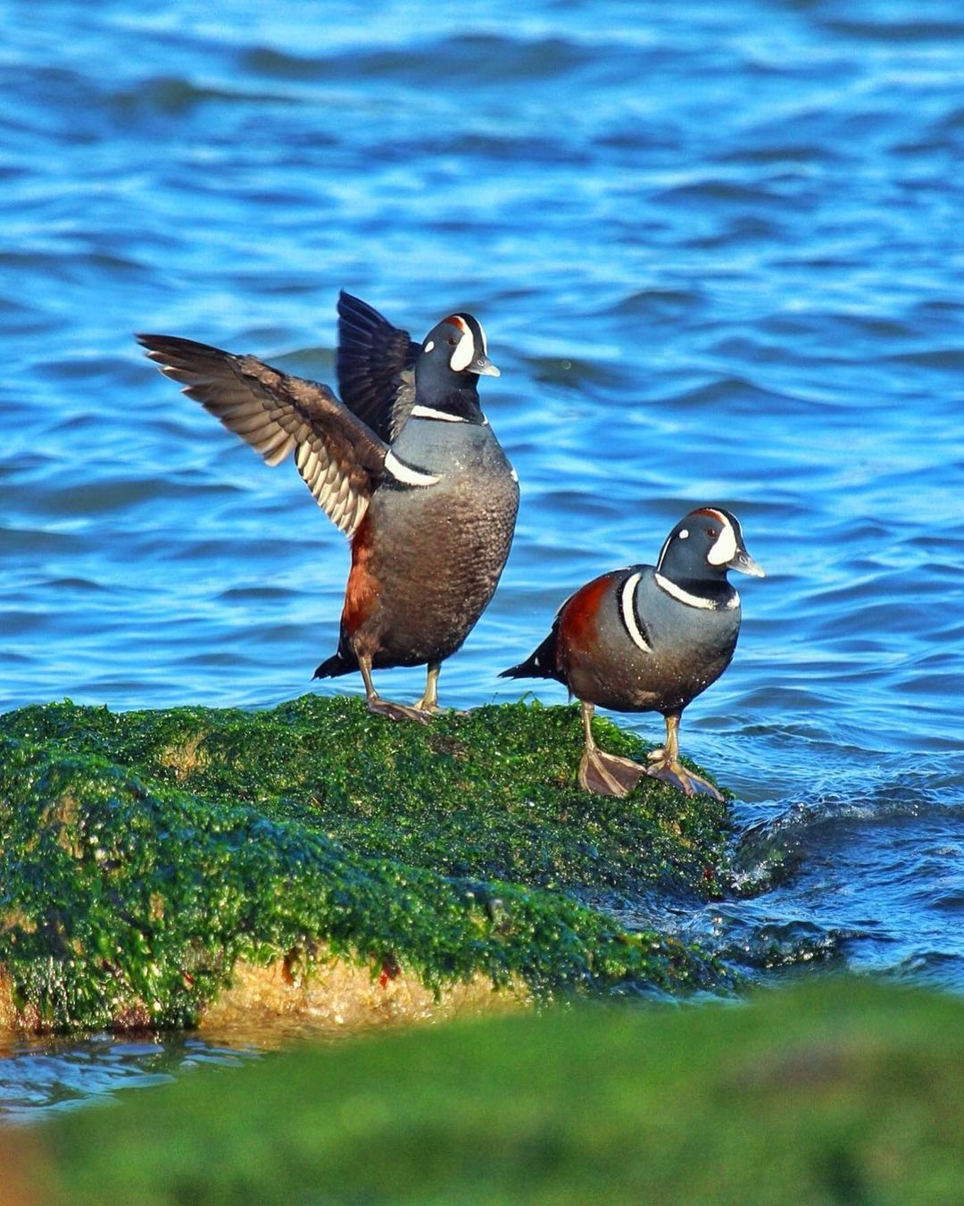 LBI *New Lifer Alert*  Had an amazing day photographing The Harlequin Ducks. Gorgeou…