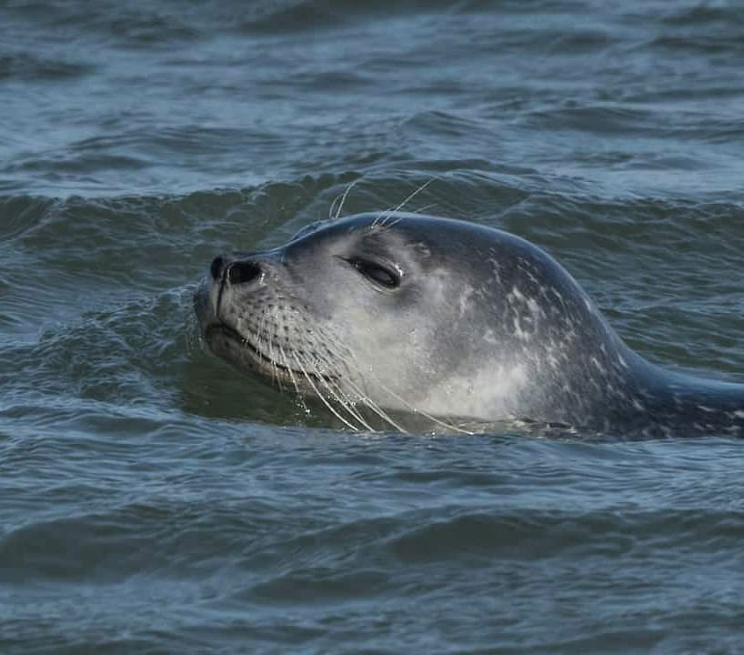 LBI Periscope up!  Harbor seal checking out the views above water.            …