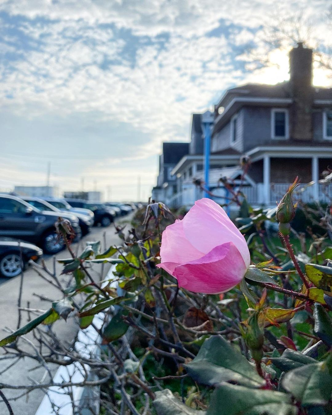 LBI The last few fall roses on Amber Street  •             …