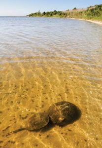 Conserve Wildlife Explains Link Between Horseshoe Crabs and COVID Vaccine