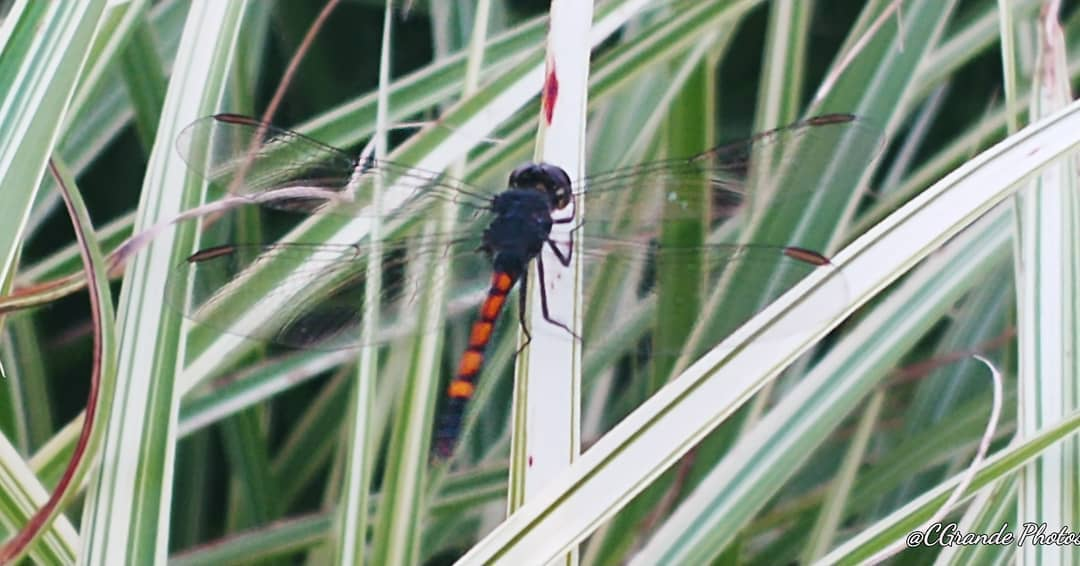 LBI Dragonflies how I love to photograph them!           …