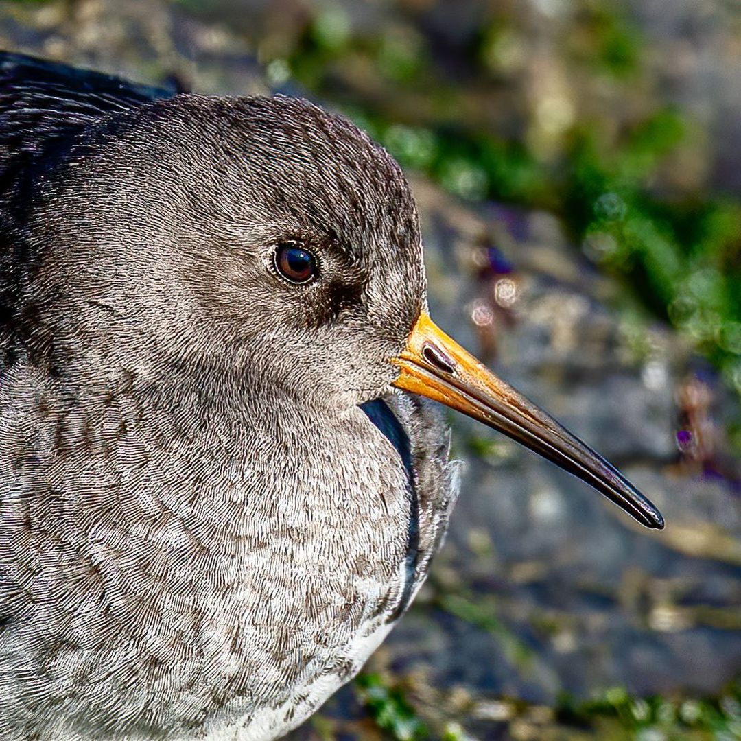LBI Purple Sandpiper… So funny to watch these lil guys work the rocks for food . ….