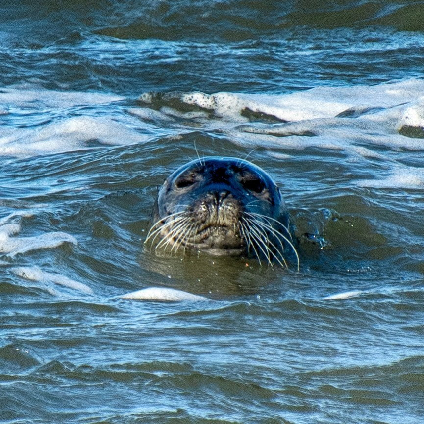 LBI Seal at Barnegat Light  Took a drive- didn't see a snowy or any harlequins but s…