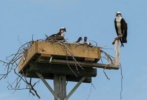 New Jersey Osprey Monitoring Project Weathers Pandemic to Record Productive Year for Species