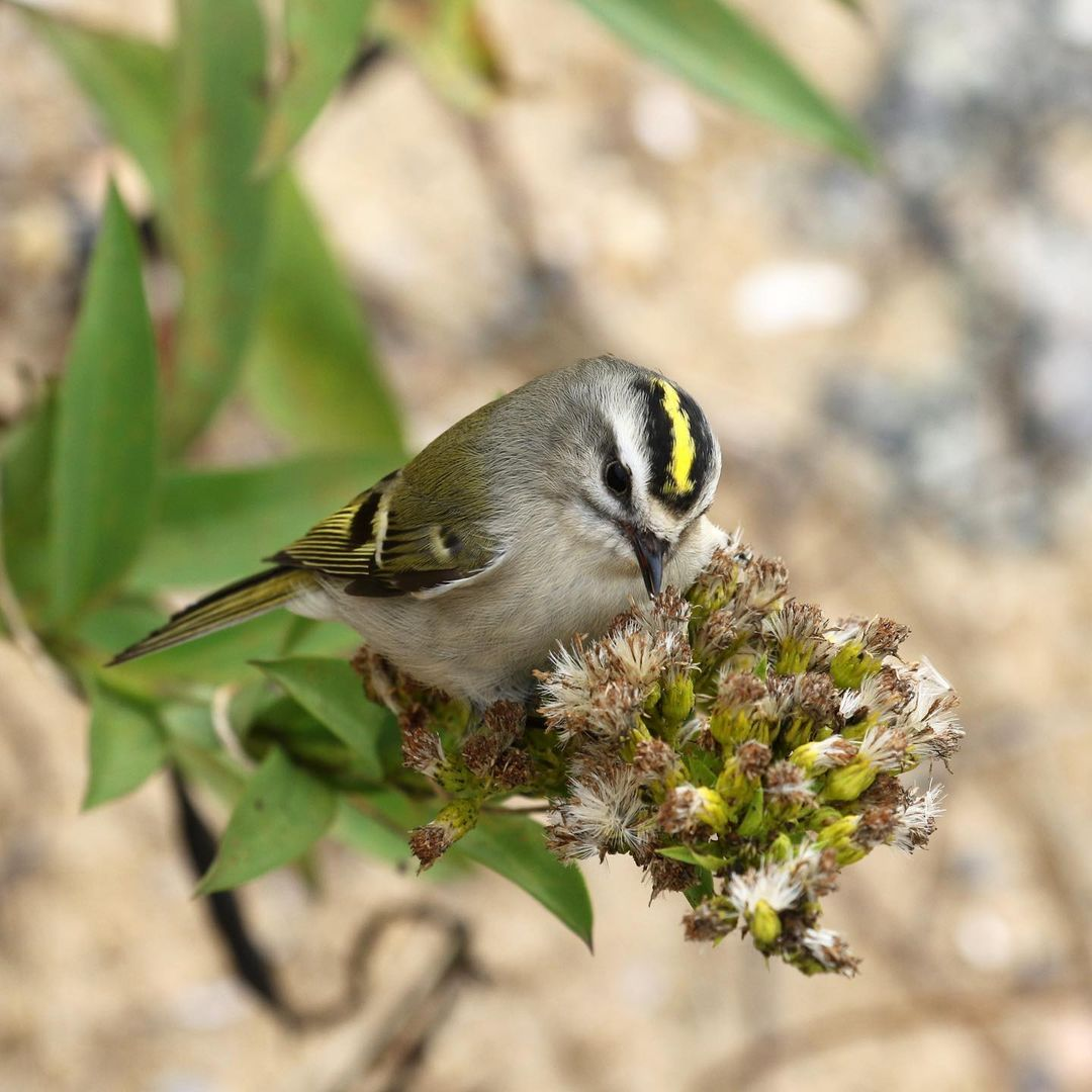 Read more about the article LBI Golden-crowned Kinglet 10/31/20 . . .        …