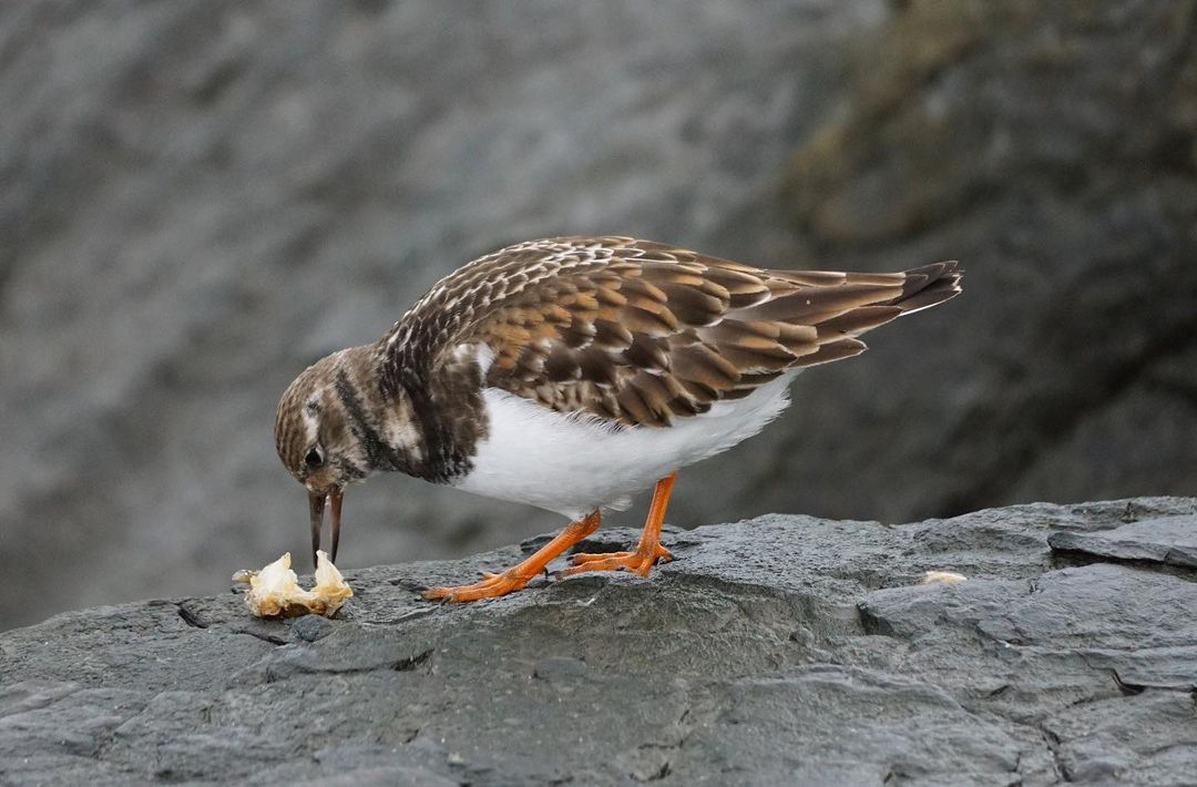 LBI The way this Ruddy Turnstone was eating those crab bits was giving off strong ty…