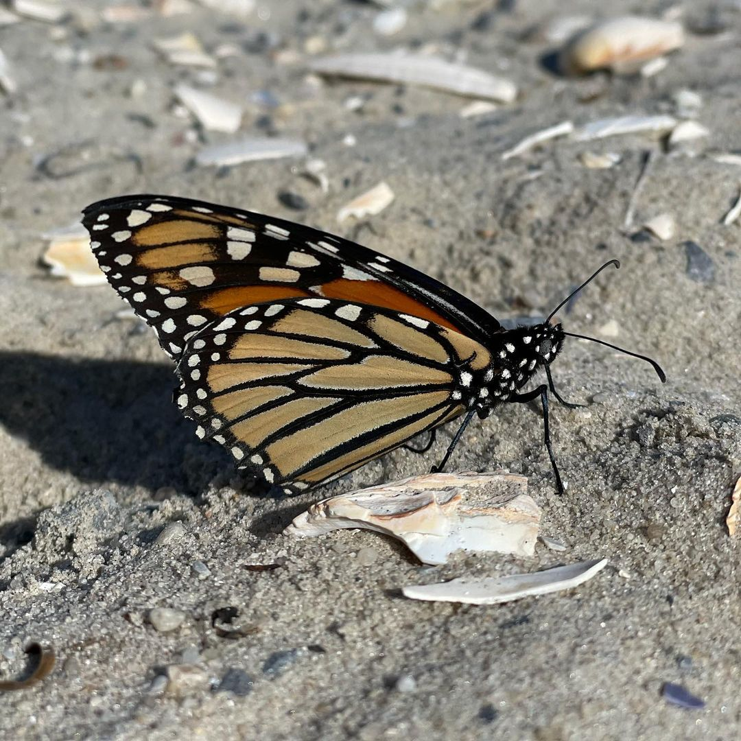 LBI This beautiful monarch was enjoying the warm sand in November at Barnegat Lighth…