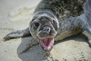 Seal Season: Reminder to Keep Distant From Beached Animals