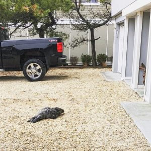 Seal Rescued From Harvey Cedars Driveway