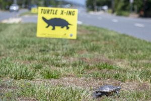 Why the Turtle Crossed the Road, and Needs Help