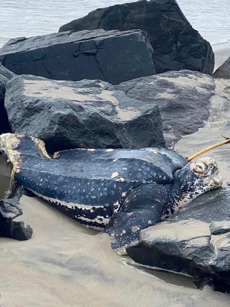 Read more about the article Giant Sea Turtle Stuck in Holgate Rocks